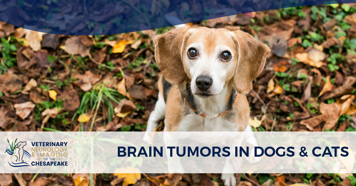 dog brain tumours symptoms