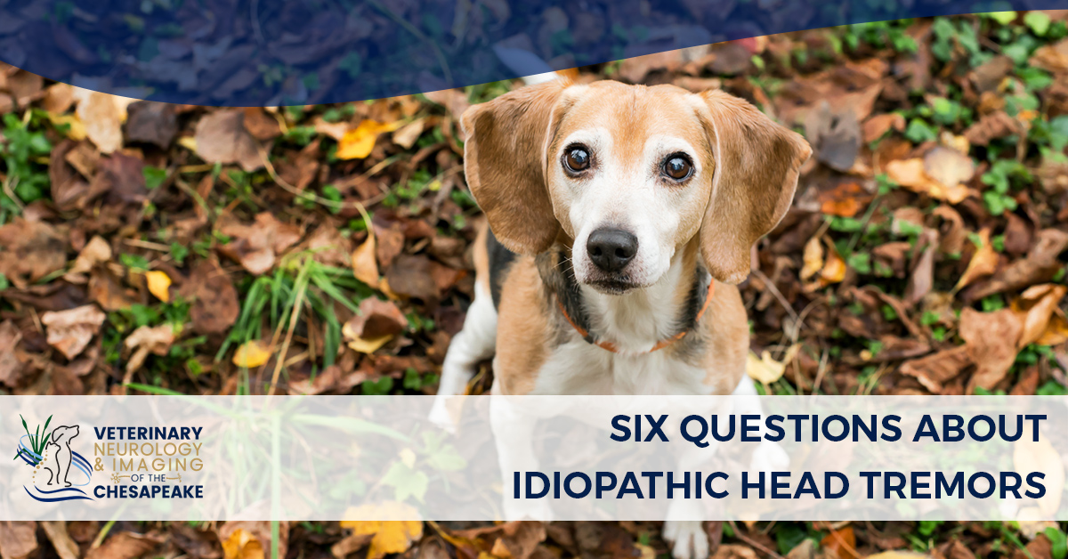 Six Questions About Idiopathic Head Tremors | Veterinary