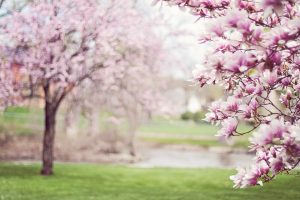 Georgia magnolia trees