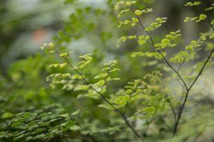 small tree Yoshino Japanese Cedar