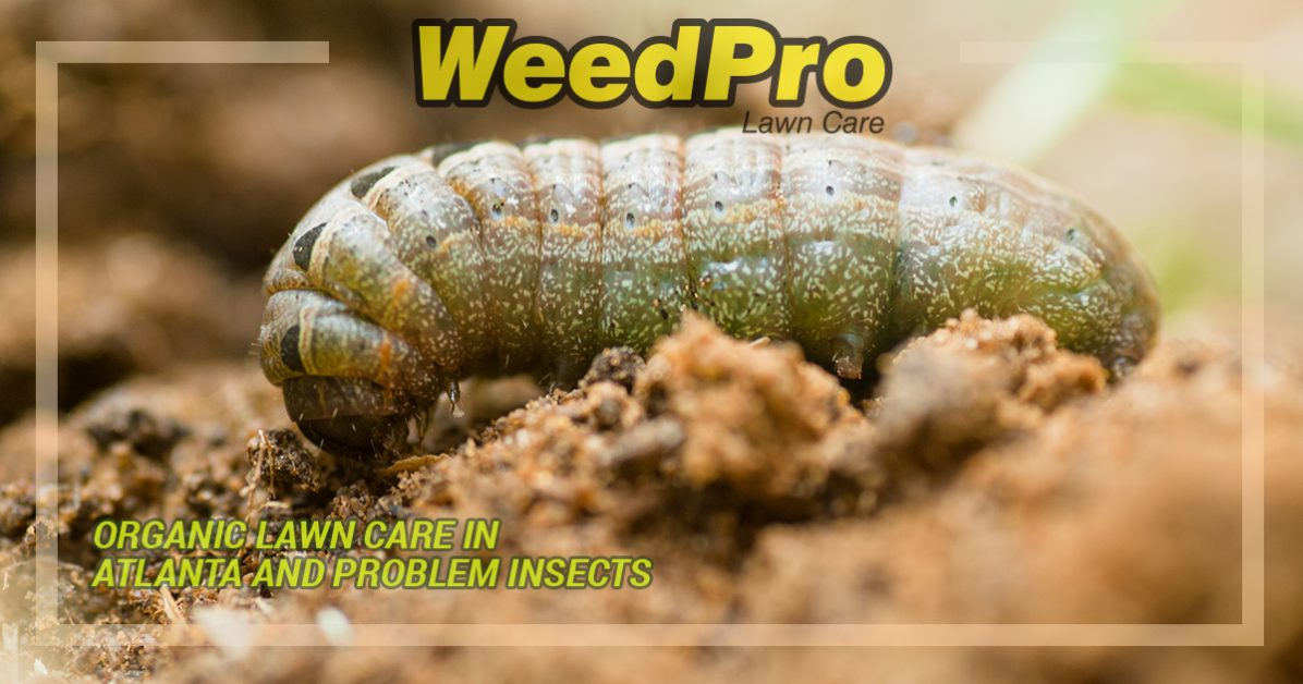 ORGANIC LAWN CARE IN ATLANTA AND PROBLEM INSECTS