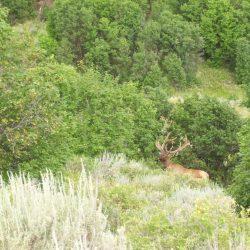Large Trophy Elk Hunting in Vibrant Green Forest