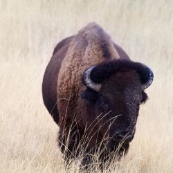 Large Trophy Bison Grazing on Dried Grass