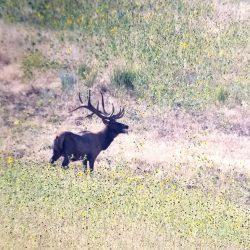 Trophy Elk Mews in Sunflower Meadow