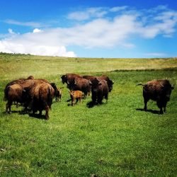Trophy Bison Herd at West Canyon Ranch
