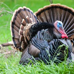 Trophy Turkey Grazing in Field on Private High Fence Hunt