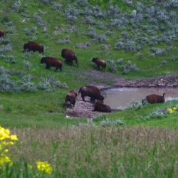 Large Trophy Bison Wade in Pond on High Fence Hunting Ranch