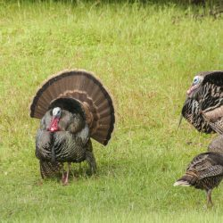 Rafter of Trophy Turkeys in Grassy Field in Utah