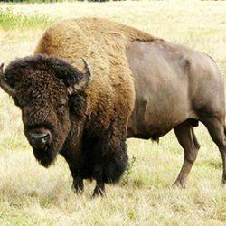 Utah bison hunting