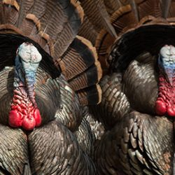 Guaranteed Turkey Hunting in Utah