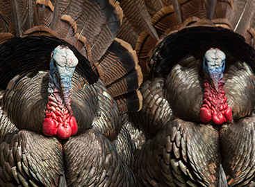 Guided Turkey Hunts - Book Your Private Northern Utah Turkey
