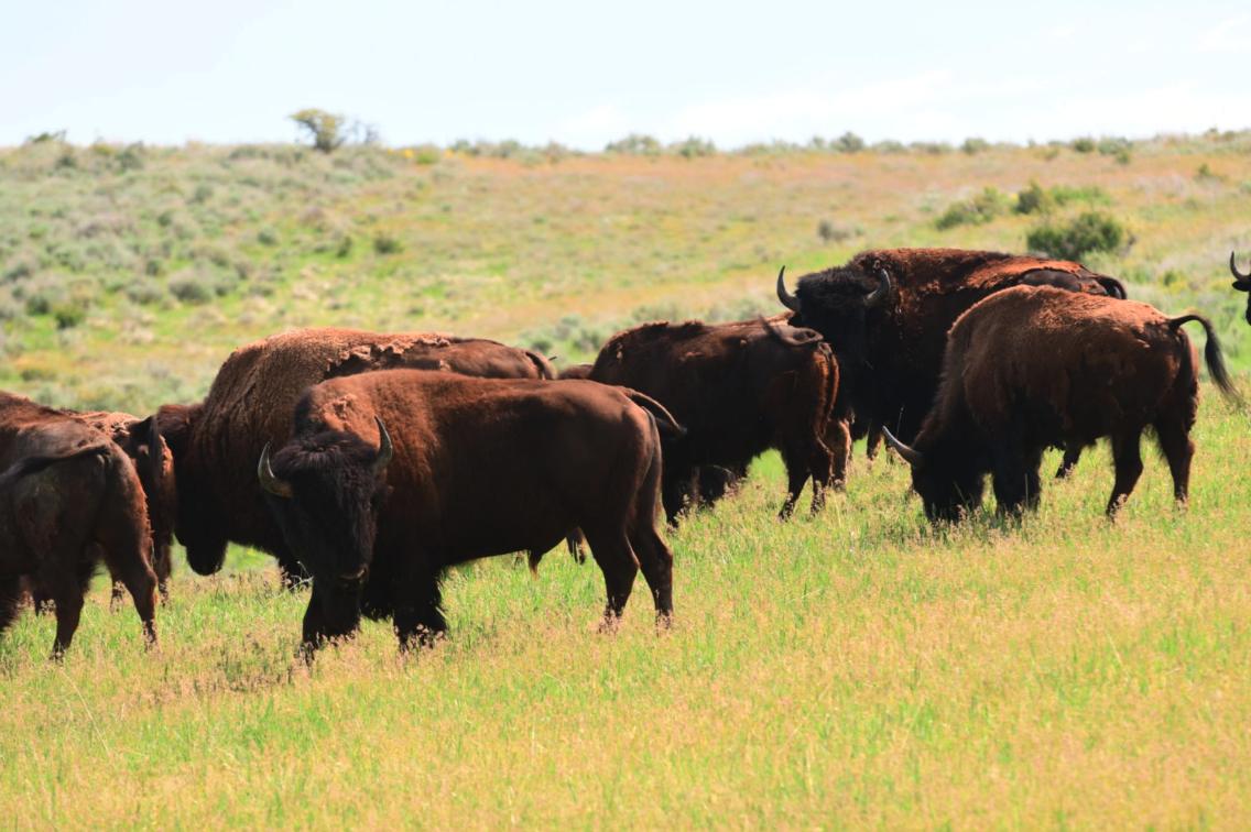Herd of Bison at West Canyon - Utah Bison & Big Game Hunting