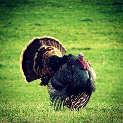 How Much Does A Private Turkey Hunt Cost | West Canyon Ranch