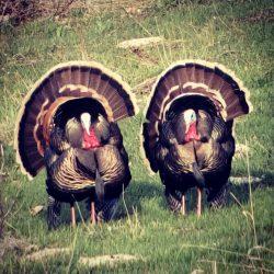 Guaranteed Turkey Hunting | West Canyon Ranch