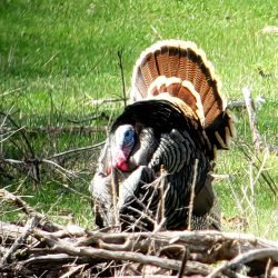 When is the turkey hunting season| West Canyon Ranch