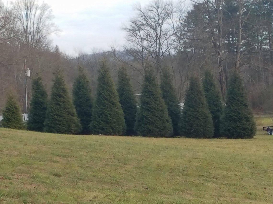 evergreen hedge installation